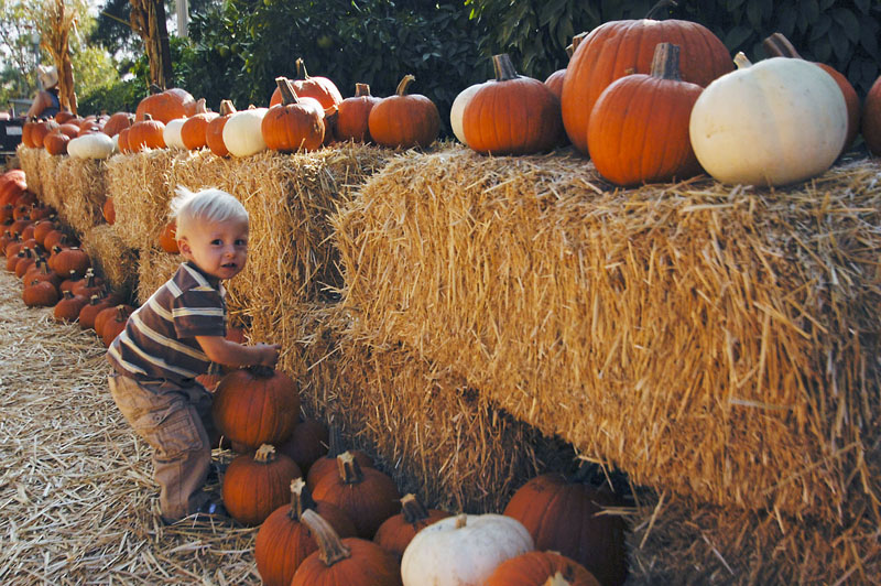 The La Verne Heritage Foundation, dedicated to preserving the history of La Verne, opened its annual pumpkin patch at Heritage Park on Oct. 10. One-year-old Bryce Diley carefully selects his pumpkin from the hundreds of all shapes and sizes. The patch also features a petting zoo and hay rides. The pumpkin patch will be open every day until Oct. 30. / photo by Christopher Guzman