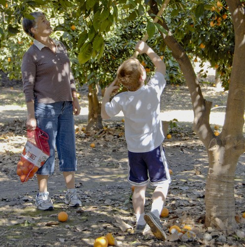 Marie Kelly and her grandson, Justin Boultwood, were among many from the La Verne community at Heritage Park Saturday for the opportunity to pick oranges for purchase. The event marks the ninth year that the park has hosted orange picking for the community. The orange groves will be open every Saturday until March 20 for those who may want to go orange picking this spring. / photo by Christopher Guzman