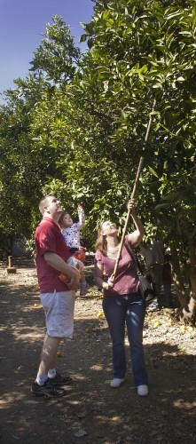 Thomas and Dawn Pint, residents of Chino, brought their 18-month-old daughter Kaylin to Heritage Park for orange picking Saturday. Heritage Park is located near the foothills north of the 210 Freeway, just east of Wheeler Avenue. / photo by Allison Lavelle