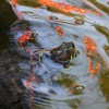 The University of La Verne has two new residents in the Johnson Family Plaza fountain, but how they got there is a mystery to its admirers. Professor of Biology Jeff Burkhart said that the fountain is a great environment for the red-ear slider turtles to be found./Scott Mirimanian