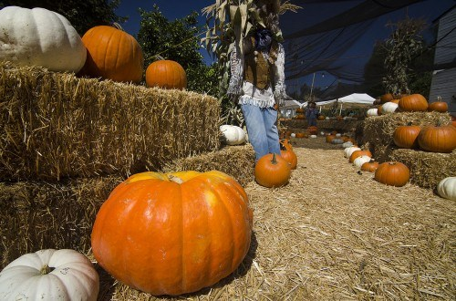The Heritage Farm Pumpkin Patch has all sizes of pumpkins ready to be sold and carved. Behind the pumpkins, there is also a variety of farm animals including pigs, goats, and a sheep for sale. / photo by Zachary Horton