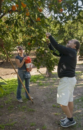 Alex and Irene Levkoff of San Dimas visited Heritage Park in La Verne for orange picking Saturday. The park is open for orange picking Saturdays from 9 a.m. to 3 p.m. through mid-March, and each bag of oranges is $5. Lemons and grapefruits can also be picked. / photo by Katherine Careaga