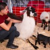 Ontario resident Juan Cifuentes visits the Great American Petting Zoo on Monday. Llamas, deer, pigs, wallabies and goats of all sizes will call the Los Angeles County Fair home for the next four weeks. They can be found scattered throughout the fairgrounds. / photo by Ryan Gann