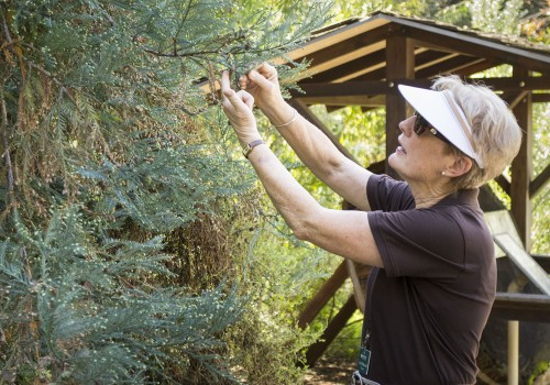 One of more than 200 volunteers at the Rancho Santa Ana Botanic Garden, Cindy Walkenbatch leads a tour around the 86 acre garden. Walkenbatch has volunteered at the garden for the last four years, and has served as a Nature Interpreter for a year. The garden is home to California native plants such as this California Coastal Redwood with one of the smallest seed cones. / photo by Jasmin Miranda