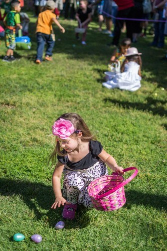 Ashlyn Connolly, 4, participates in her second egg hunt, but the first by herself, during Claremont's Spring Celebration Saturday in Memorial Park. Connolly found eight eggs in the 5-7 age group designated area. / photo by Helen Arase