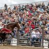 Tab Hildreth of Gunnison, Colorado, rides Holy Hoppin' Hell out of the gates and up the scoreboard Sunday, staying on the horse long just enough to reach the other side of the field. Nearly 600 people were in attendance at the San Dimas Western Days Rodeo put on by the San Dimas Chamber of Commerce on Oct. 3-4 in downtown San Dimas./photo by Ben Camacho