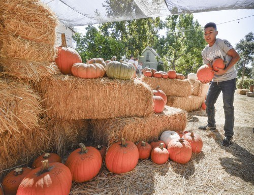 West Covina High School junior Tristan Villar stocks pumpkins at the Harvest Pumpkin Patch at Heritage Park in La Verne. Since 1989, the La Verne Heritage Foundation has presented the annual pumpkin patch. Heritage Park is located east of Wheeler Avenue on Via De Mansion. The pumpkin patch is open weekdays, 4 - 8 p.m., and weekends, 10 a.m.-8 p.m., until Oct. 30./ photo by Noel Cabrera