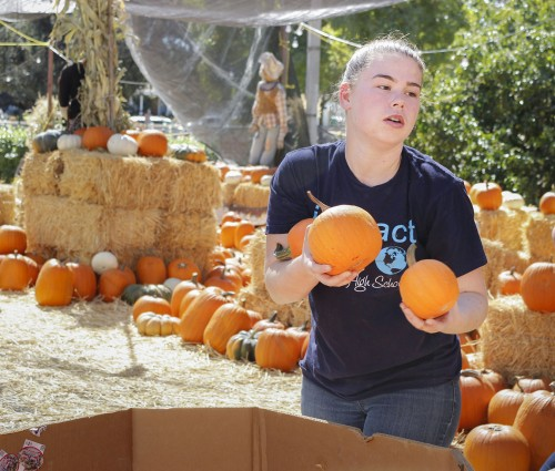 """Rachel Caputo, a freshman from Charter Oak High School volunteers at the Heritage Park Pumpkin Patch. The annual pumpkin patch at Heritage Park is in full swing this month –with wagon rides, a petting zoo and pumpkins of various colors, shapes and sizes are on display. Pumpkins are priced according to weight, except for the $3 mini pumpkins for children at the """"Lil' Kids Patch."""" Heritage Park, at 5001 Via De Mansion in La Verne, is run by the non-profit Heritage Foundation. It is also home to the last of the area's original orange groves. The pumpkin patch is open from 4 p.m. to 8 p.m. Monday through Friday, and 10 a.m. to 8 p.m. on weekends, through Oct. 30. The park will host the annual Pumpkin Patch Vintage Car Show Oct. 29. The park also hosts seasonal events, including a Christmas tree lot in December, and orange picking in January. / photo by Berenice Gonzalez"""