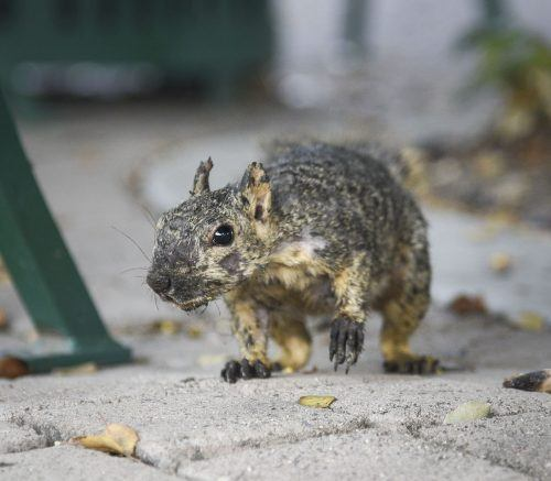 The fox squirrel, commonly seen around campus, is formally known as Sciurus niger. With sharp claws and muscular bodies, the fox squirrel is easily able to climb trees. Squirrels may carry the plague, salmonellosis and leptospirosis. / photo by Cortney Mace