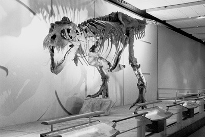 The Los Angeles County Natural History Museum featured Sue, the largest and most complete skeleton of a Tyrannosaurus Rex. Sue was purchased from a private party by the Field Museum in Chicago, with financial help from McDonalds, Walt Disney World Resorts and private investors. / photo by Tom Galaraga