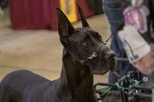 Two-year-old Great Dane Jellybean, known professionally as Candy Crush, prepares for competition at the Kennel Club of Beverly Hills Dog Show Saturday. The annual two-day event was hosted at the Fairplex and allows dogs of all breeds to compete. / photo by Ariel Torres