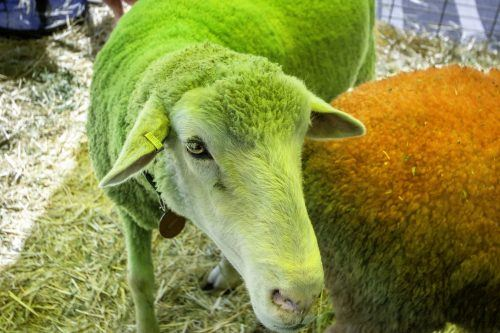 Shrek, the green sheep, celebrates Feeling Groovy's 2.0 anniversary party in Claremont Saturday. People enjoyed the sights of rainbow sheep, free chair massages, classic cars, treats and face paint. The cafe and wellness center is located on Foothill Boulevard. / photo by Veronyca Norcia