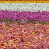 A worker tends the flowers at the Carlsbad Flower Fields on April 13. The Carlsbad Flower Fields have reopened its 50 acres of ranunculus flowers to the public through May 9. The fields are open from 9 a.m to 6 p.m.daily. Reservations are required, and social distancing and other safety guidelines must be followed. For more information, visit theflowerfields.com. / photo by Rachel Kendrick